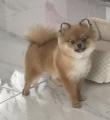 Psi Aktor do filmów i reklam pommeranian piesek boo suczka mini